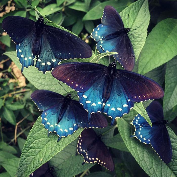 Battus-philenor-9- Sozinho, homem consegue salvar espécie de borboletas raras no próprio quintal Curiosidades Fotografia Notícias