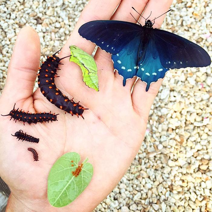 Battus-philenor Sozinho, homem consegue salvar espécie de borboletas raras no próprio quintal Curiosidades Fotografia Notícias