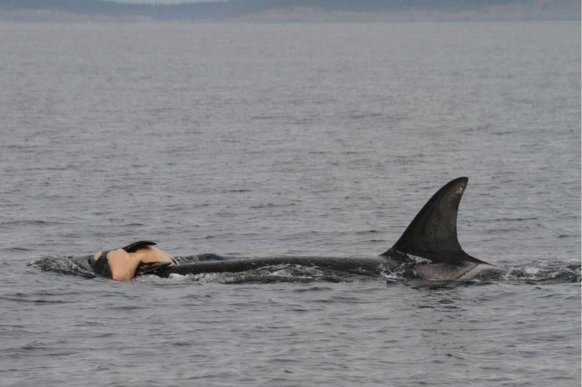 Mãe orca com seu filhote morto