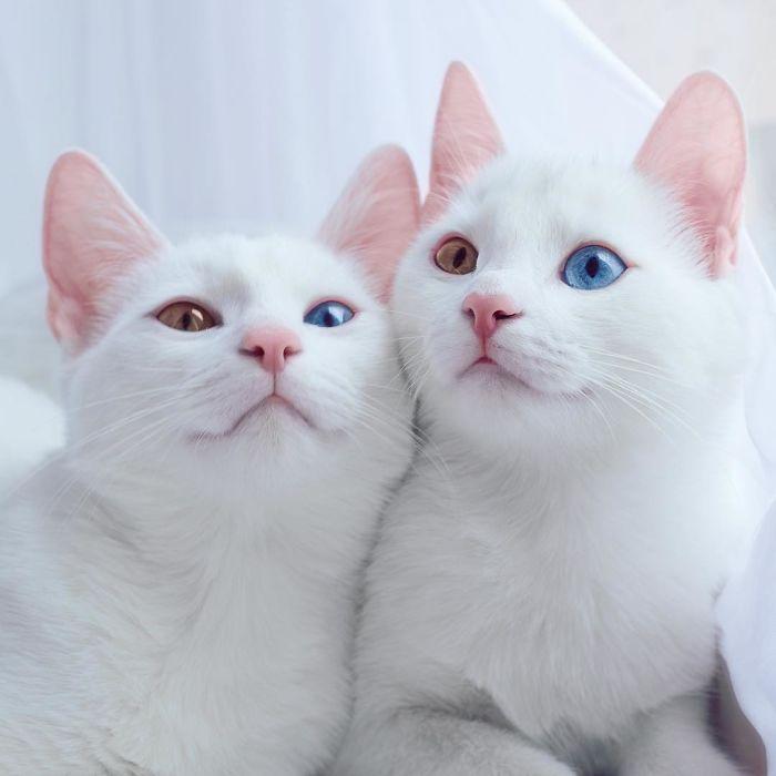 gatas gemeas olhos heterocromáticos (1)
