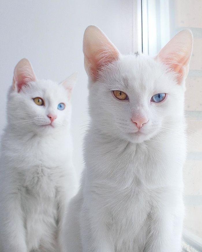 gatas gemeas olhos heterocromáticos (12)