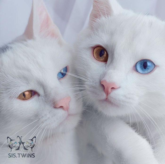 gatas gemeas olhos heterocromáticos (2)