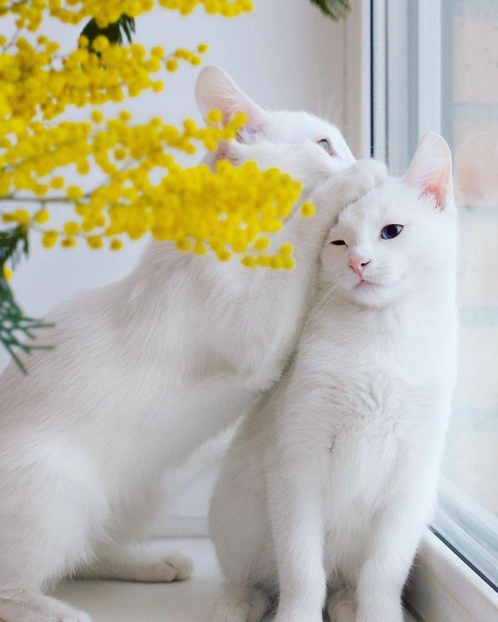 gatas gemeas olhos heterocromáticos (5)