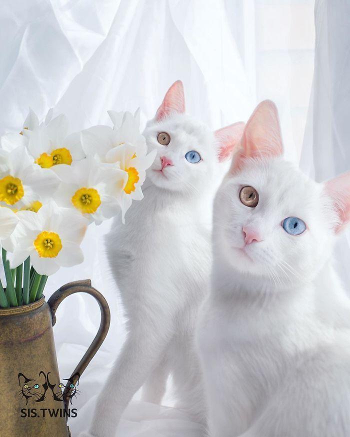 gatas gemeas olhos heterocromáticos (6)