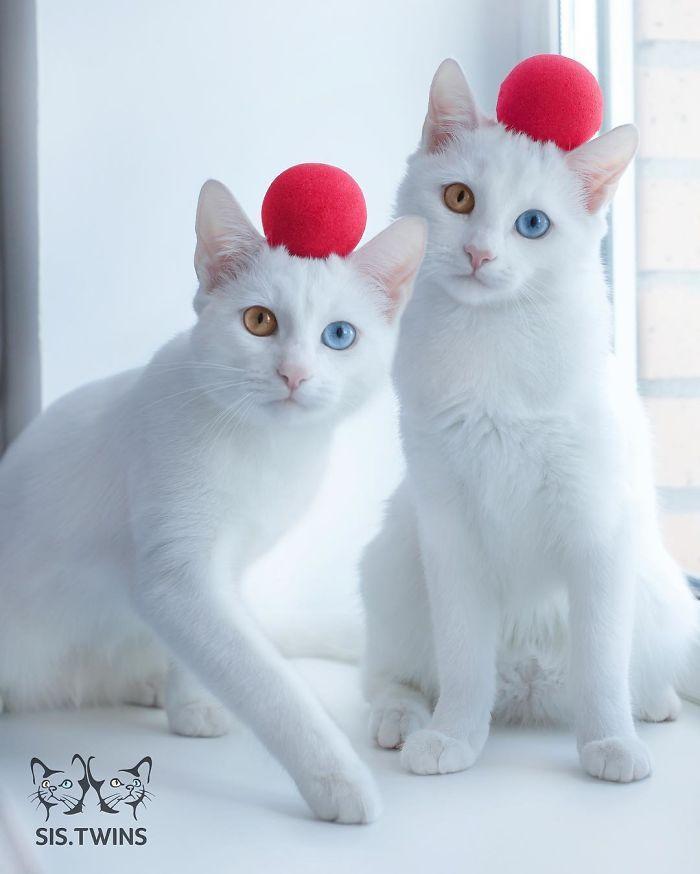 gatas gemeas olhos heterocromáticos (7)