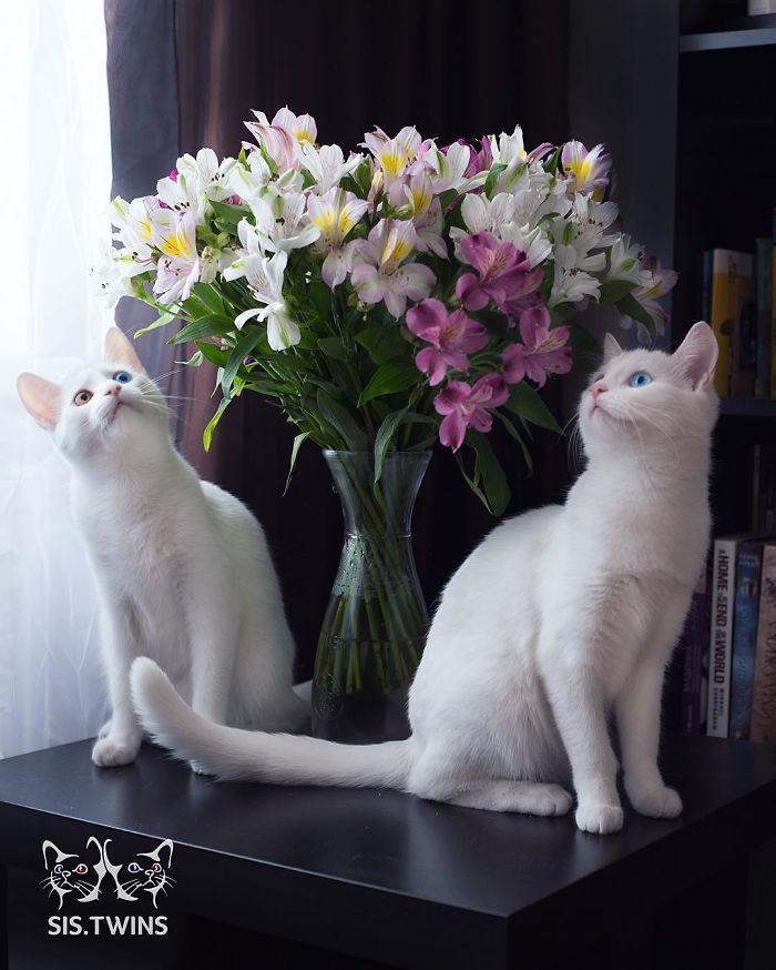 gatas gemeas olhos heterocromáticos (8)