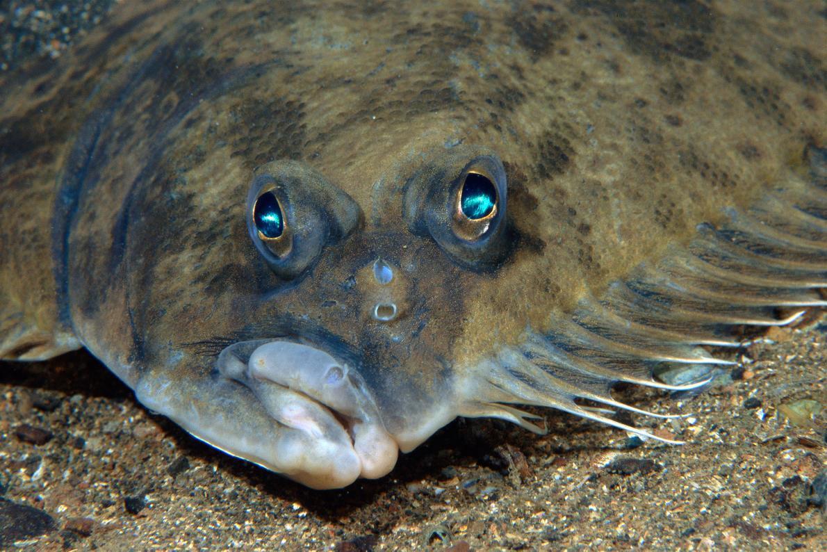 Como os peixes como o linguado veem o fundo do mar for What kind of fish am i