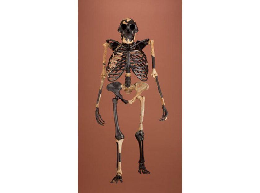 recriacao do esqueleto de lucy