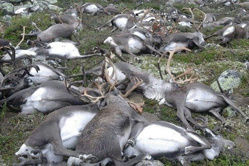 renas mortas raio noruega