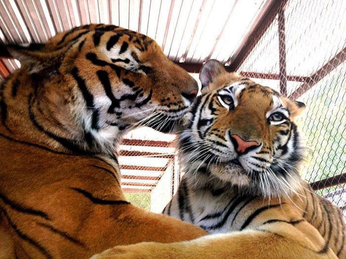 tigresa resgatada (4)