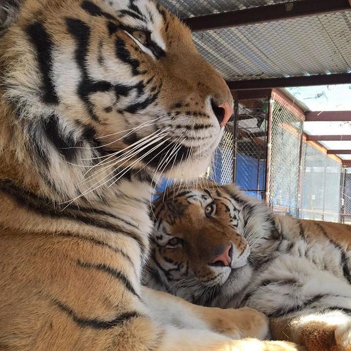 tigresa resgatada (5)
