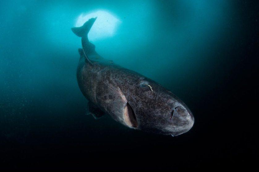 Tubarão de 272 anos é o vertebrado mais velho do mundo