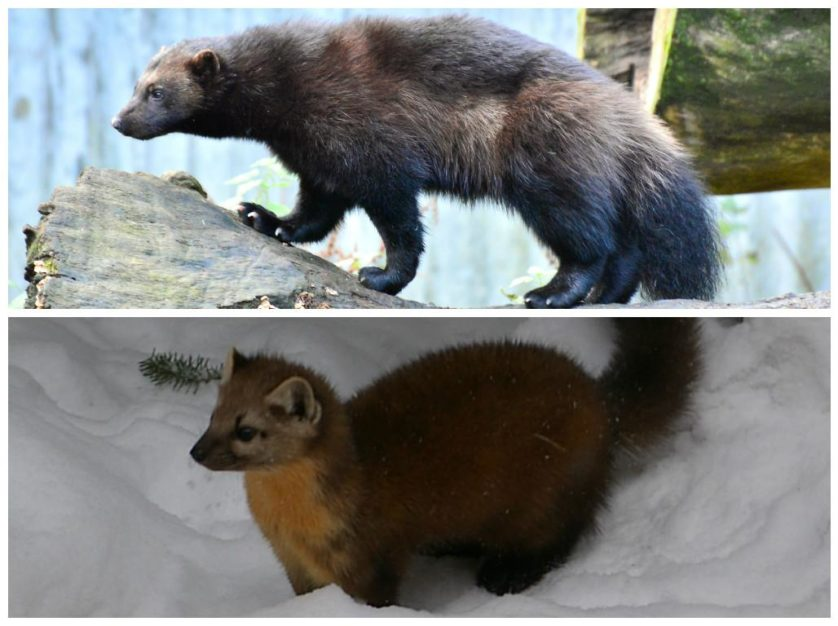 Glutão (acima) e zibelina, animais da região siberiana