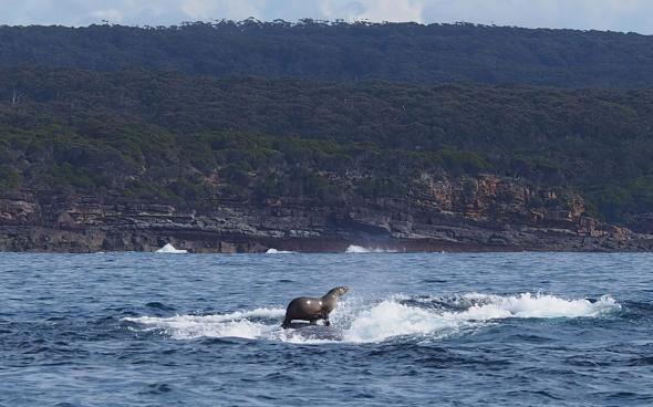 foca nas costas de baleia