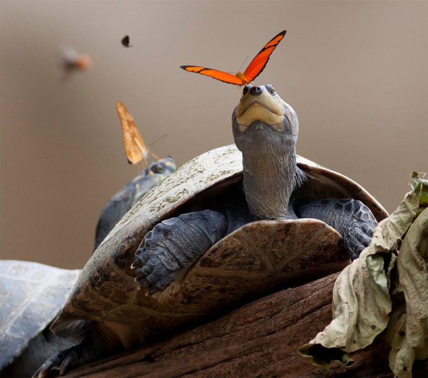 tartarga-e-borboleta
