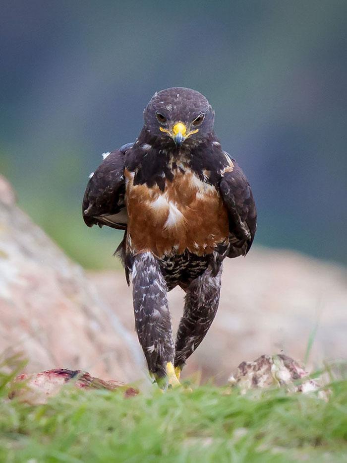 aguia-foto-original