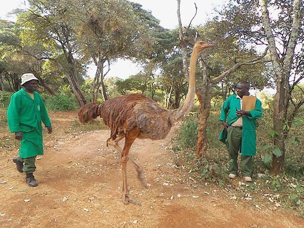 avestruz-pea-pensa-ser-elefante