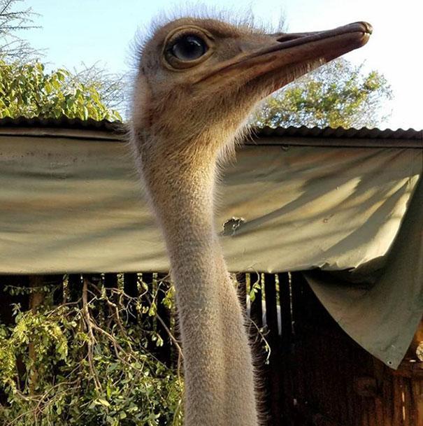 avestruz-pea