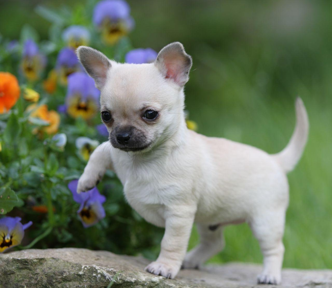 Os 10 menores cachorros do planeta for Tiny puppies that stay tiny for sale