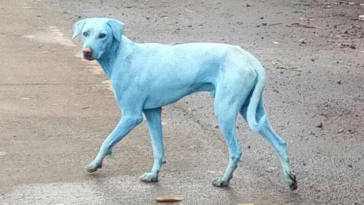 Amado Moradores observam cachorros azuis aparecendo pelas ruas e  QK25