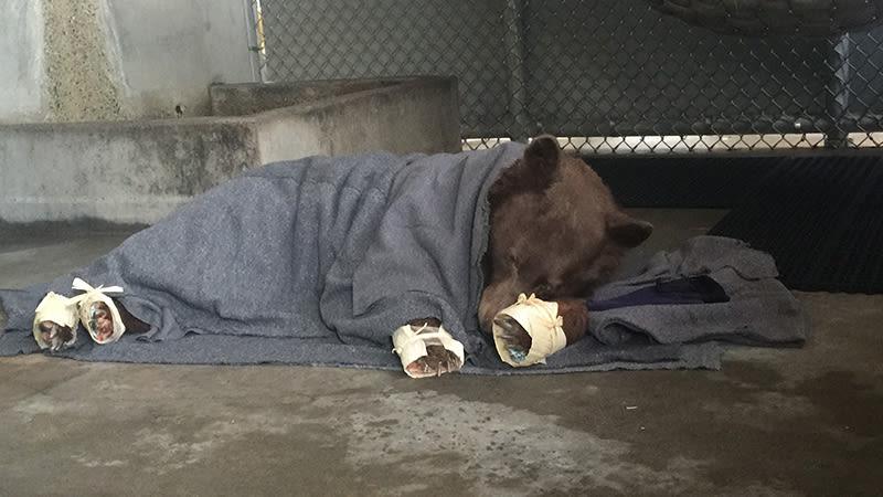 Estes ursos feridos se recuperando com curativos de for Ca dept of fish and wildlife