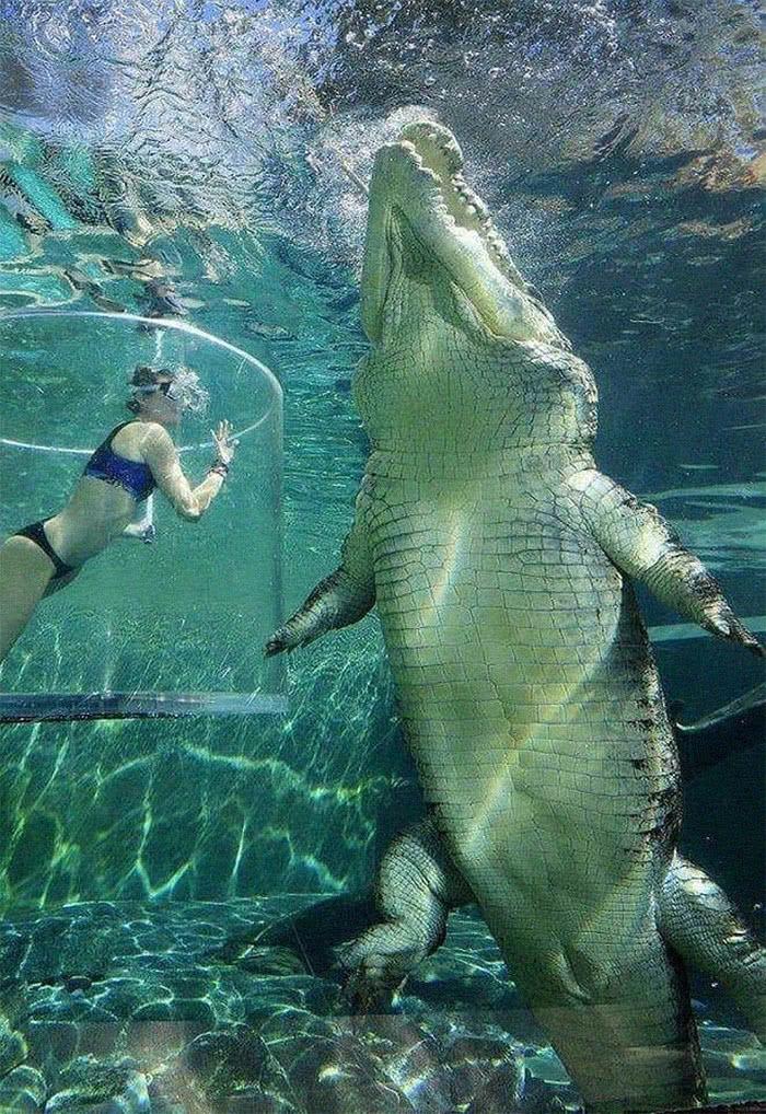 """Um crocodilo de água salgada perto de uma humana """"entalata"""""""