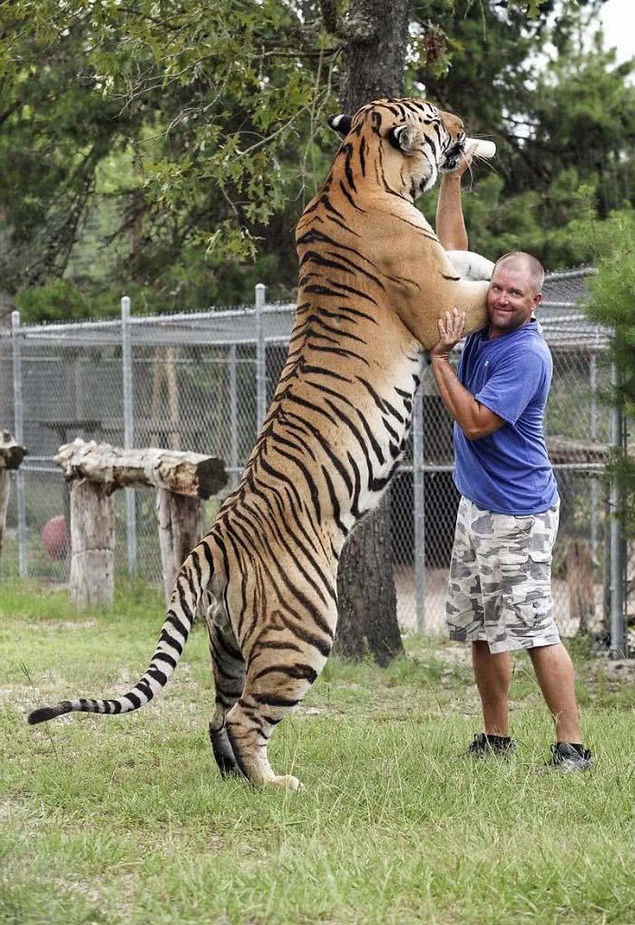 O tamanho de um tigre siberiano em comparação a um humano