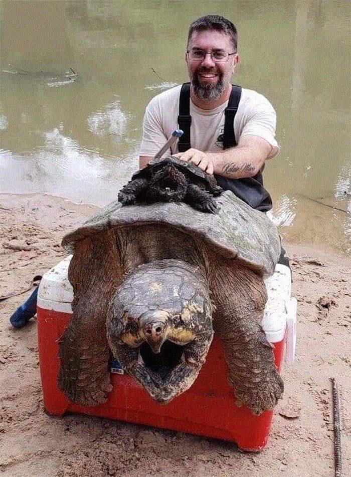 Uma tartatuga mordegora (Chelydra serpentina) adulta em comparação com o que as pessoas pensam que é uma tartaruga mordedora adulta