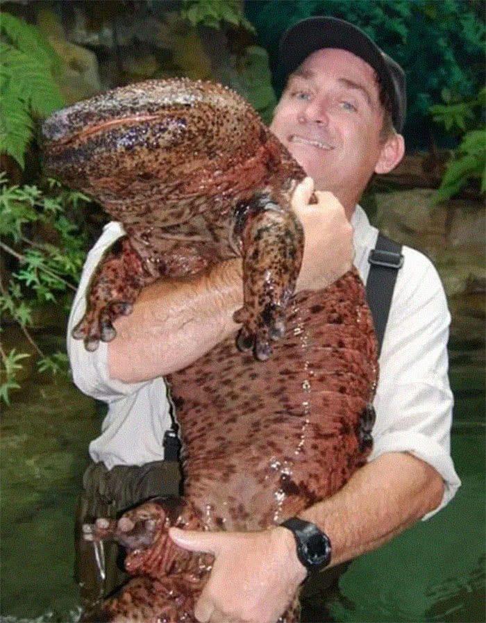A maior salamandra e maior anfíbio do mundo é a salamandra chinesa gigante. Ela está criticamente ameaçada.