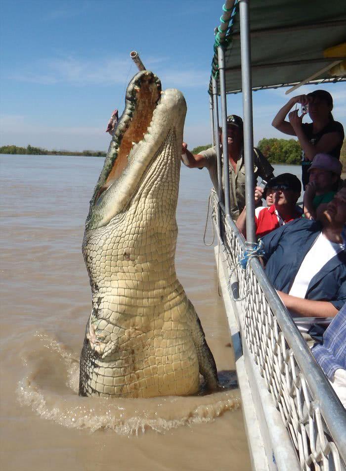 Um monstruoso crocodilo de água doce