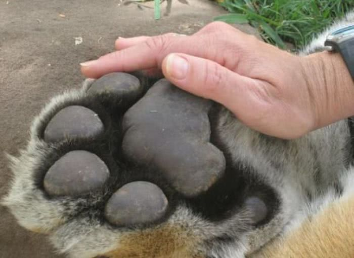 A pata de um tigre comparada a uma mão humana