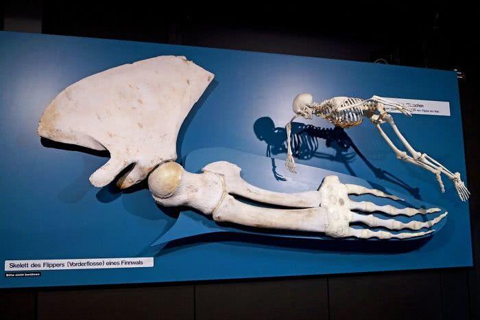 Esqueletos de um humano e da nadadeira dorsal de uma baleia (não especificada)