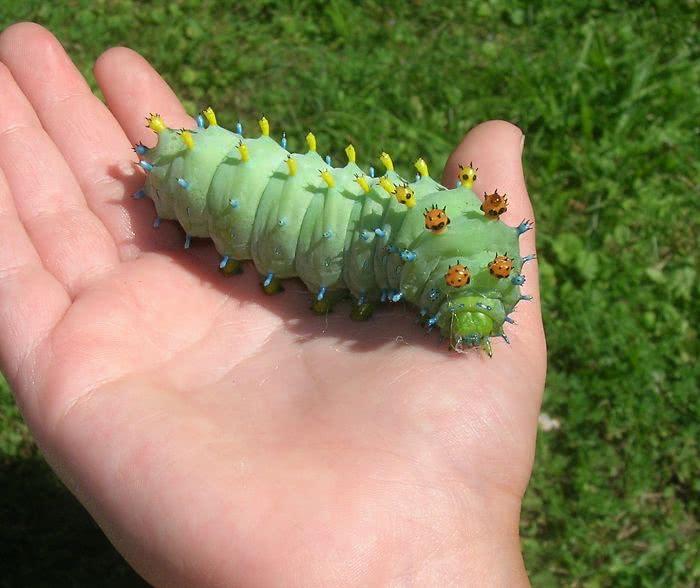 Uma enorme lagarta gorducha