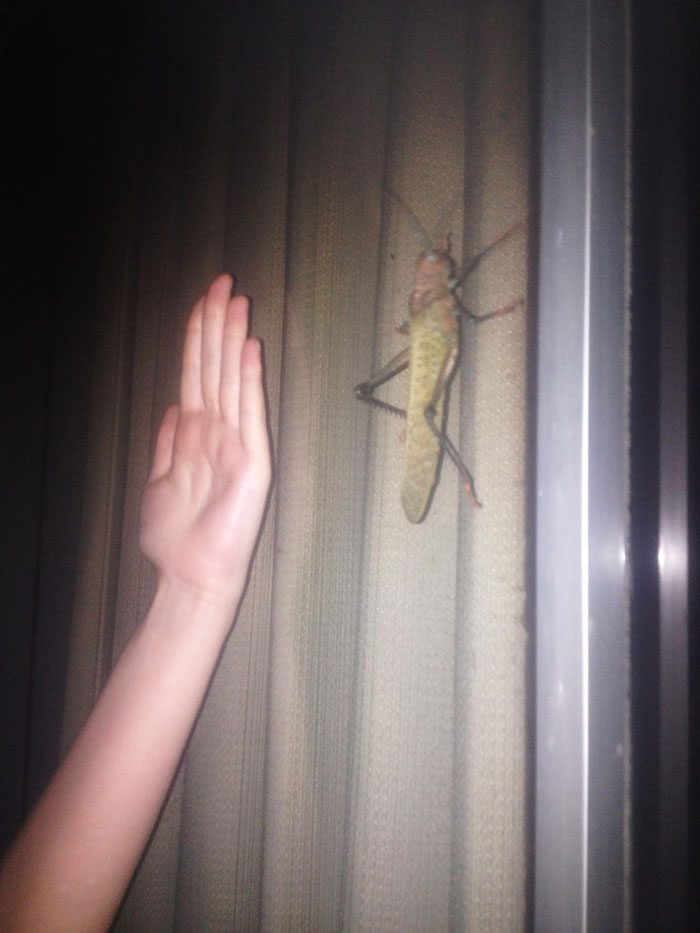 Um grilo na Costa Rica e uma mão de 16cm para escala