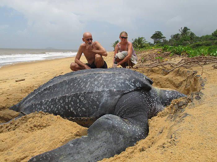Tartarugas-de-couro pode chegar a tamanhos impressionantes