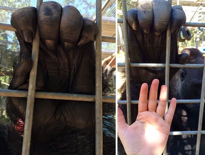 A mão de um gorila versus uma mão humana