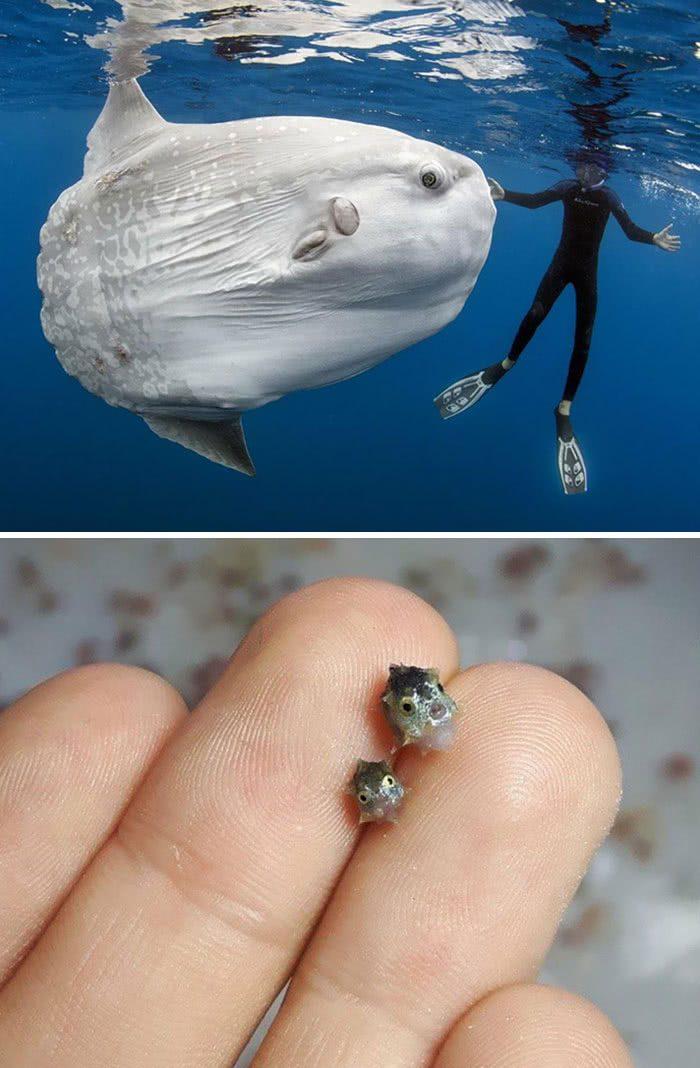 Um peixe-lua adulto em comparação com filhotes de peixe-lua