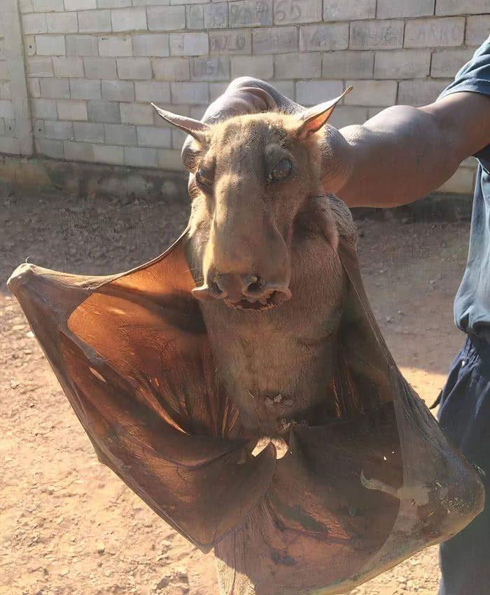 Morcego cabeça-de-martelo (Hypsignathus monstrosus) que se alimenta apenas de frutas