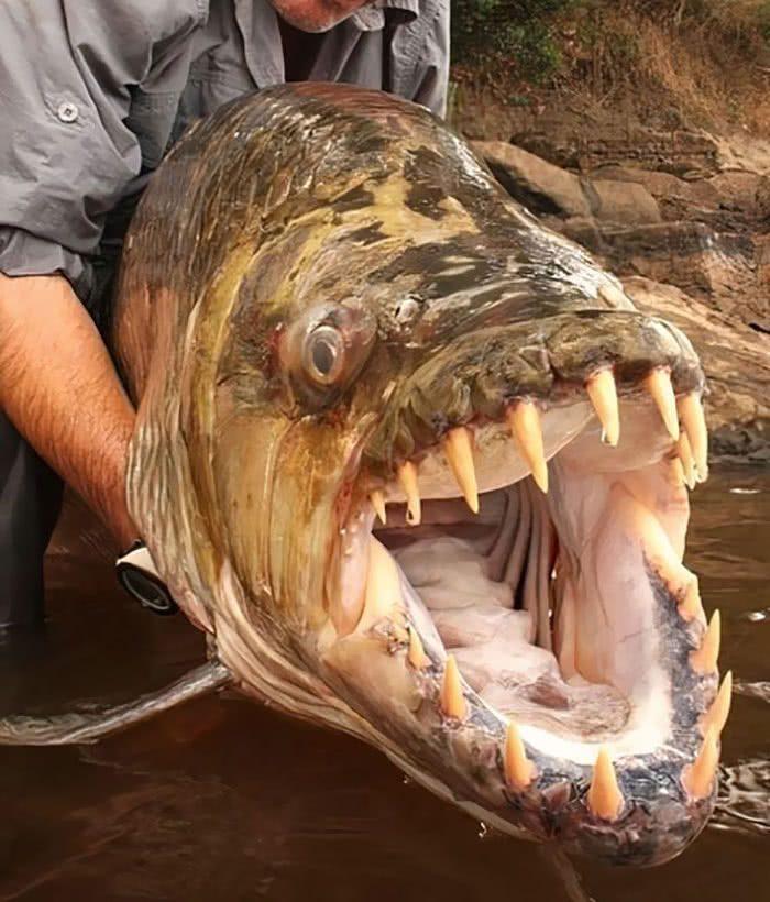 Peixe-tigre-golias (Hydrocynus goliath) do rio Congo