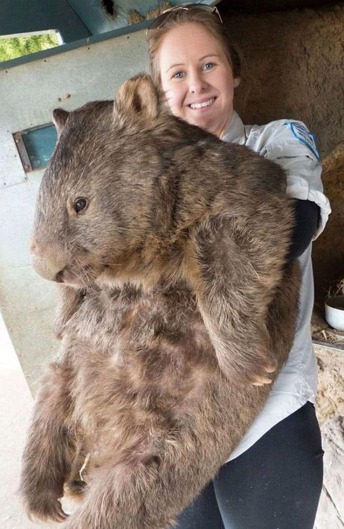 Esse é Patrick o maior e mais velho vombate do mundo