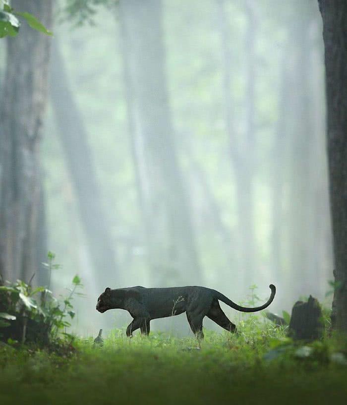 foto pantera negra andando na floresta