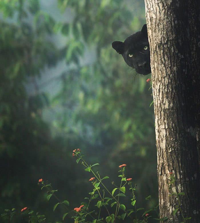 foto pantera negra tetando se esconder