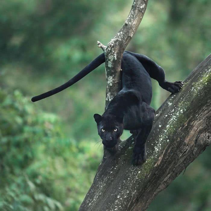 foto de pantera negra no tronco de uma árvore
