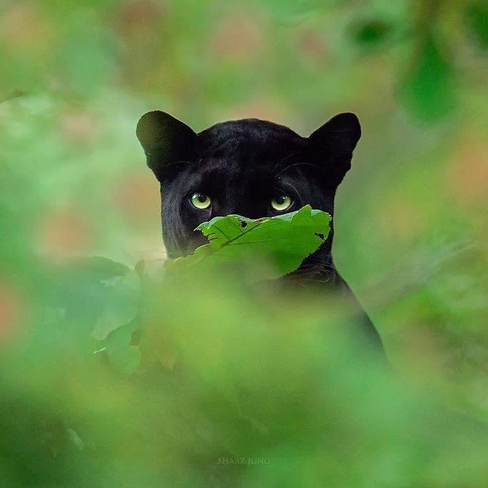 foto de pantera negra com parte do rosto oculto