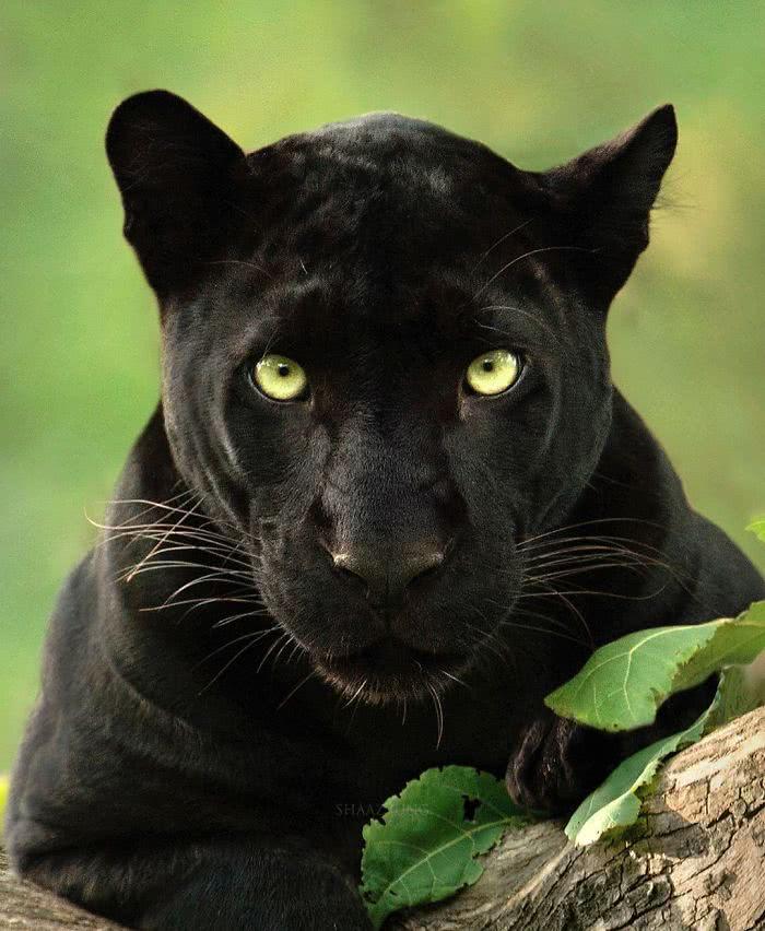 foto de pantera negra te olhando fixamente