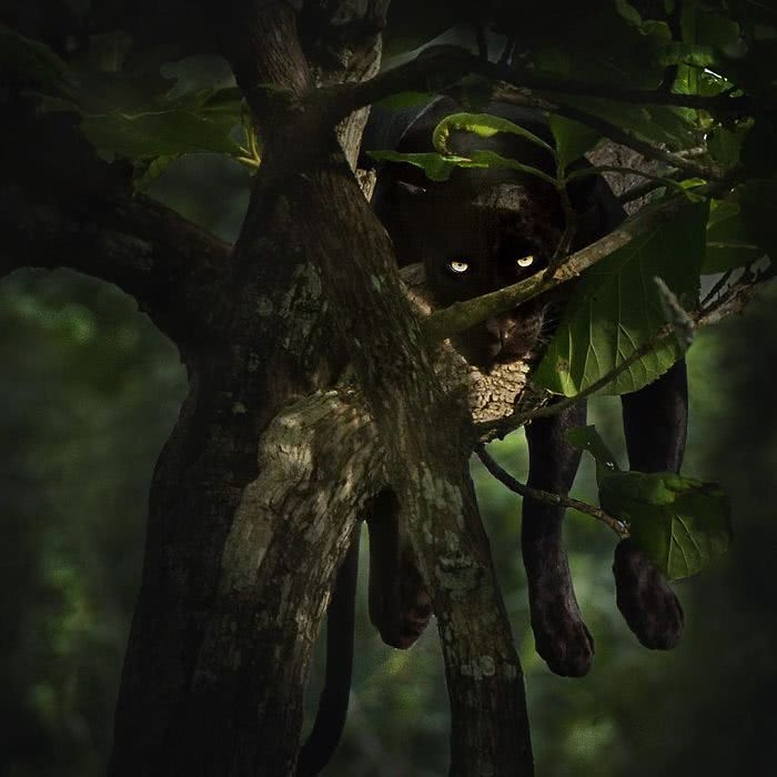 foto pantera negra relaxada no galho