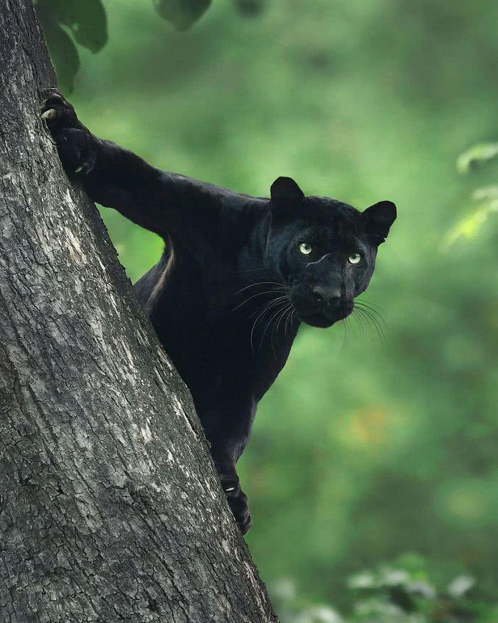 foto pantera negra agarrada no tronco de uma árvore inclinada