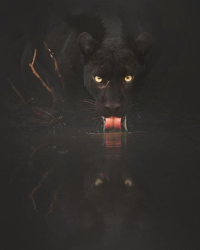 foto de pantera negra bebendo água