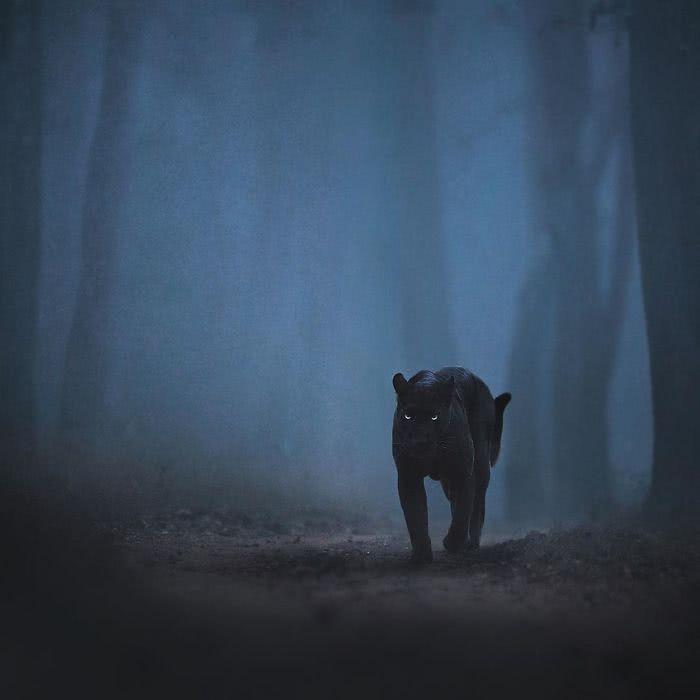 pantera negra sozinha na floresta