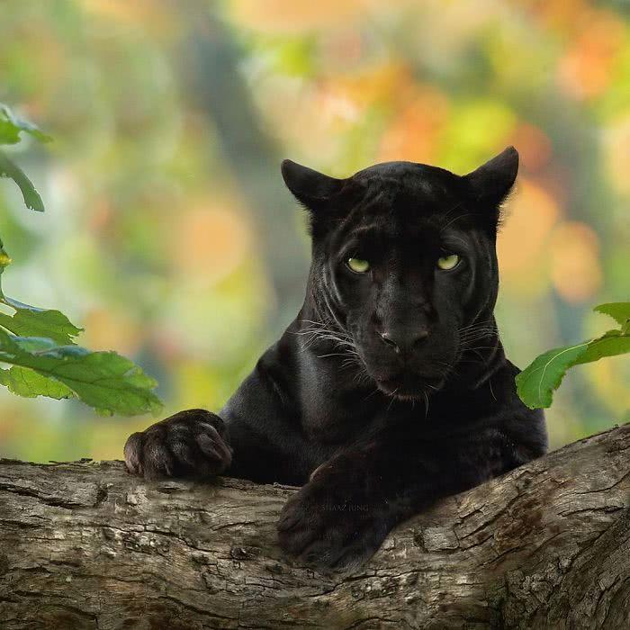 foto de pantera negra olhando para sua alma